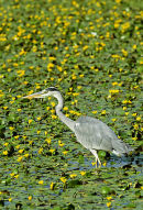 Grey Heron (Ardea cinerea) amongst Yellow Water Lilies - Surrey, England