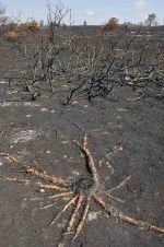 Remains of Silver Birch tree follwing heathland fire