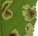 Larvae of Horse Chestnut leaf miner moth