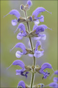 Meadow Clary: Salvia pratensis