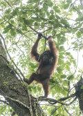 Orang utan, Sabah, Borneo. Female