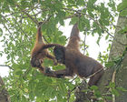 Orang utan. Female with youngster. Sabah, Borneo
