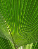 Palm Leaf, Eden Project, Cornwall