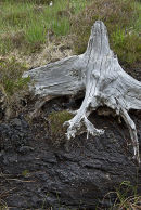 Peat bog with ancient bog oak revealed by peat cutting. Achill Island, County Mayo, Ireland
