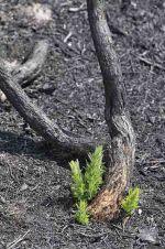 Re-growth of Gorse: Ulex europaeus following heathland fire, 2010