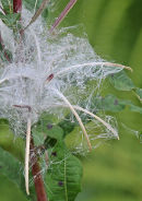 Rosebay Willowherb: Epilobium angustifolium. Seeds.