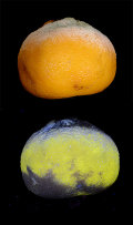 Mould on Satsuma in visible and ultraviolet light