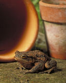 Toad (Bufo bufo) in garden.
