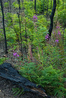 Rosebay Willowherb (Fireweed) growing on burnt heathland