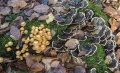 Woodland fungi: Sheathed Woodtuft: Kuehneromyces mutabilis, and Turkeytail: Trametes versicolor