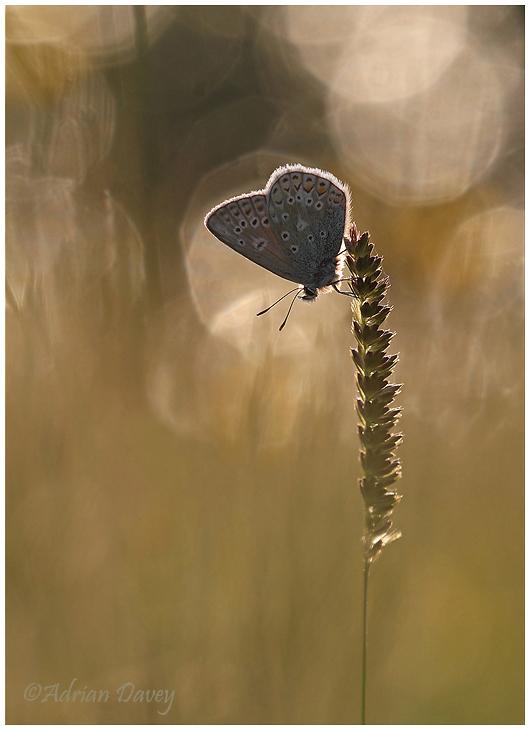 Common Blue bokah