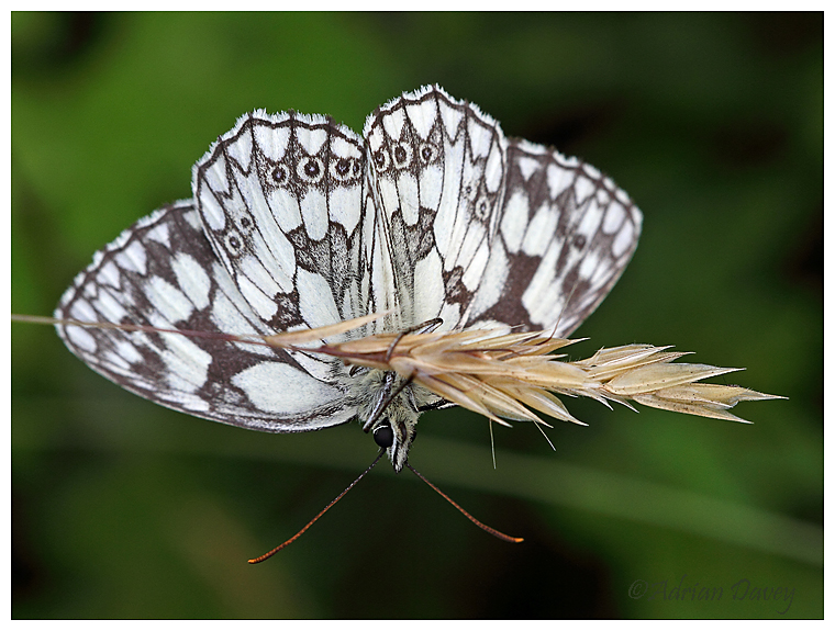 Marbled White upside down