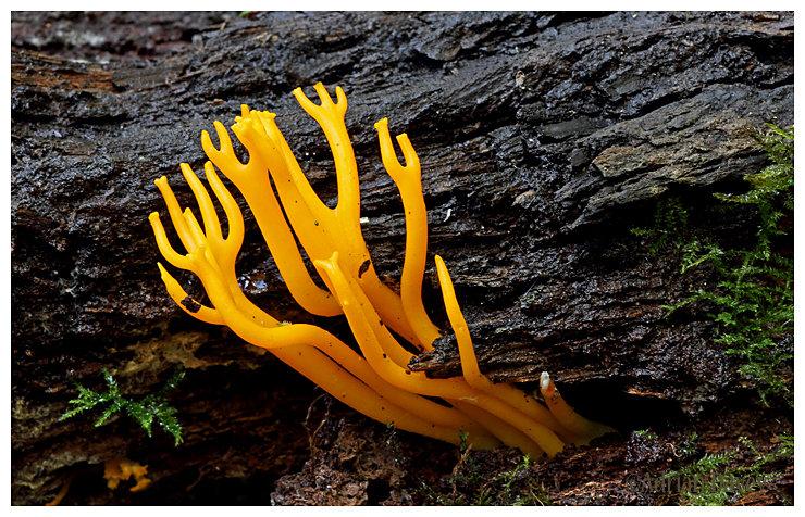 Antler Fungi