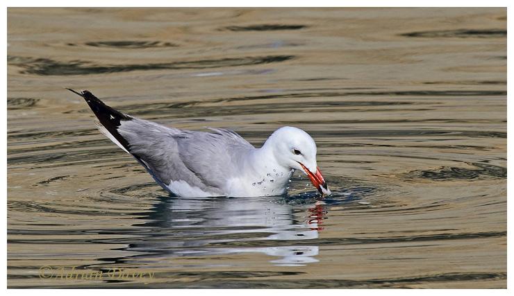 Audouin,s Gull 1
