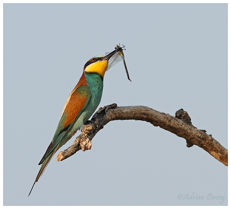 Bee eater with Dragonfly 1