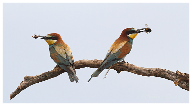 Bee eater bookends