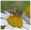 Bee on daisy 1