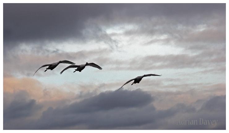 Bewicks Swans in stormy skies.