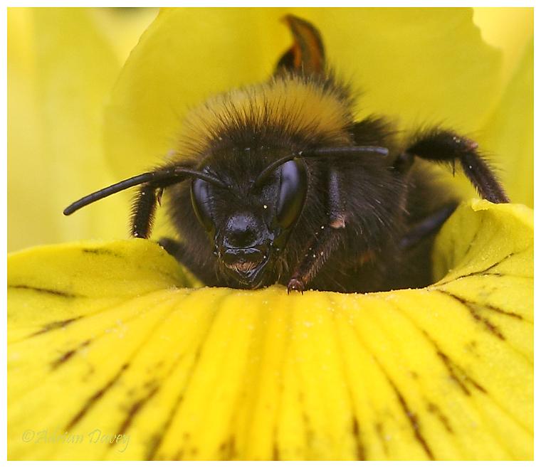 Bumble Bee On Yellow Flag Iris