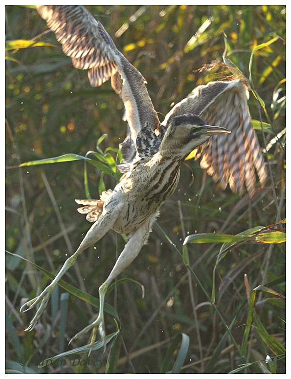 Bittern lift off.