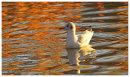 Black Headed Gull on Autumn Colour reflections.