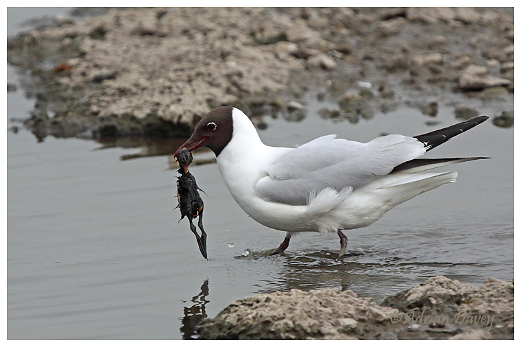 Black Headed Gull with Moorhen chick .