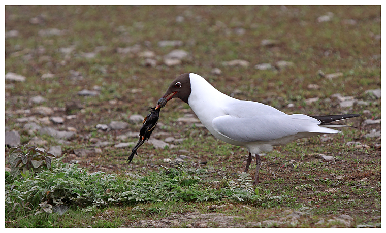 Black Headed Gull with Moorhen chick 2.