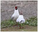 Black Headed Gull courtship