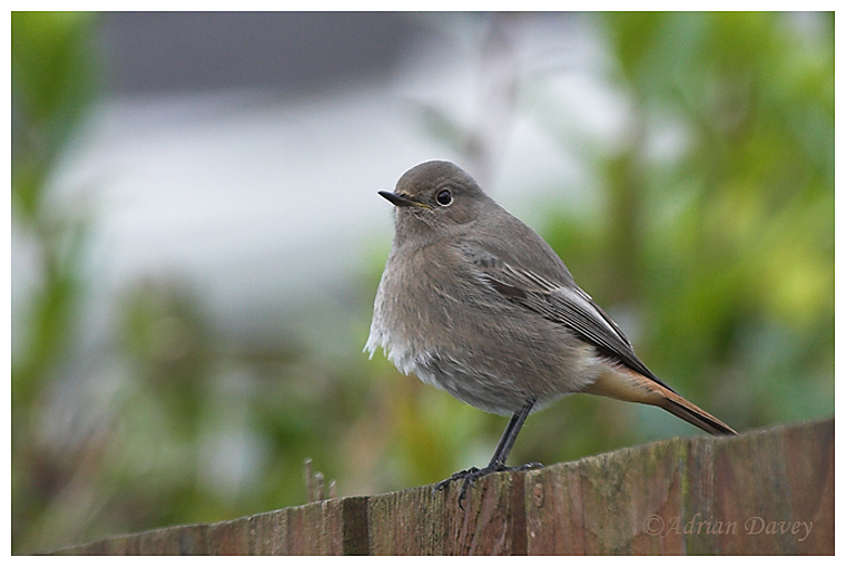 Black Redstart, 1st winter or female.