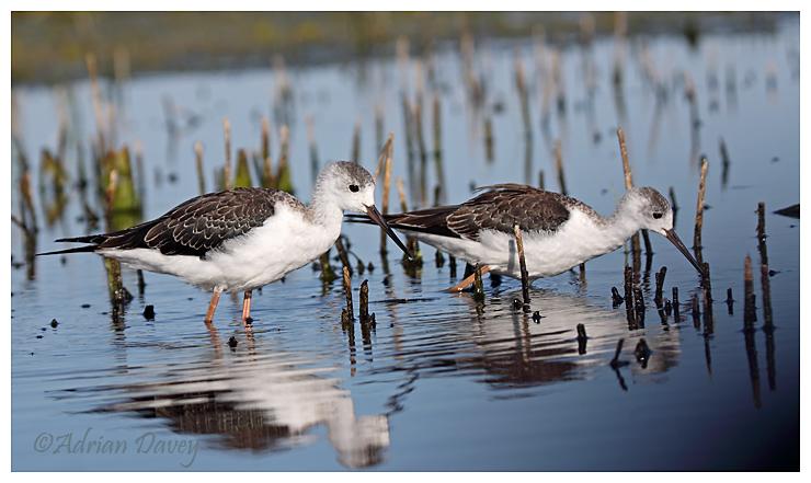 Black Winged Stilts,Juveniles.