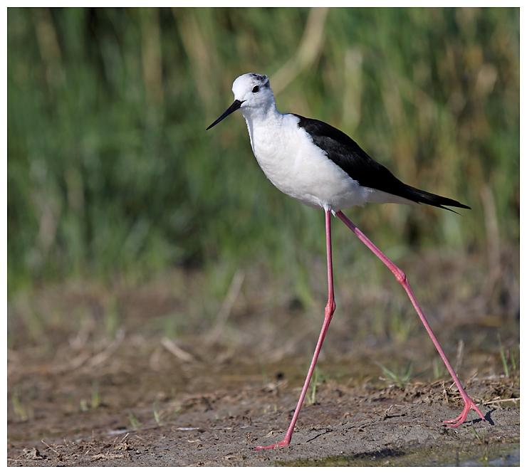Black Winged Stilt adult