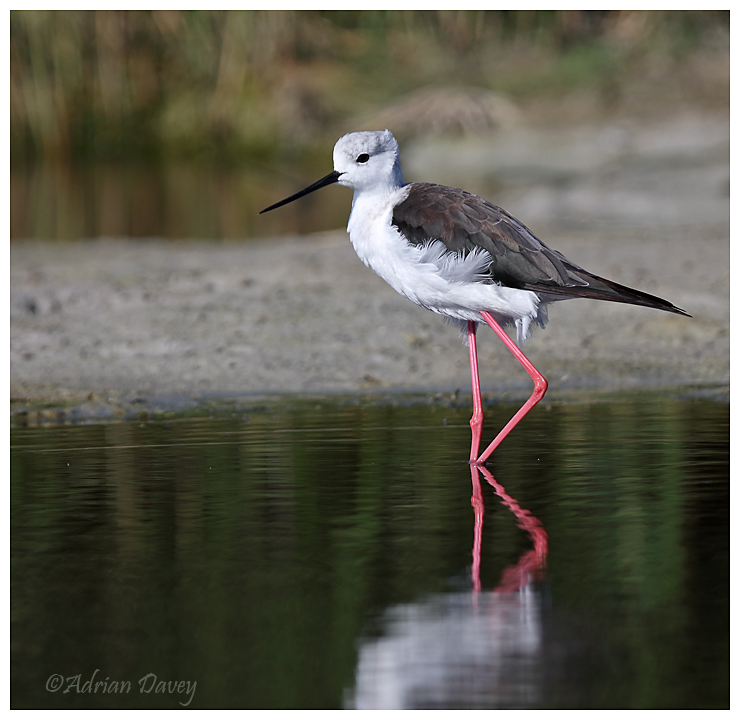 Black Winged Stilt.
