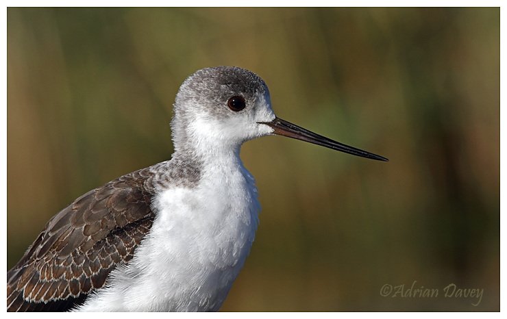 Black Winged Stilt  juvenile portrait.