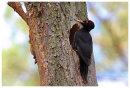 Male Black Woodpecker at nesthole