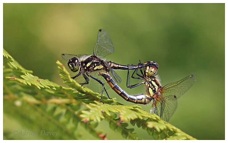 Black Darters paired