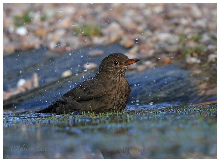 Blackbird female bathing