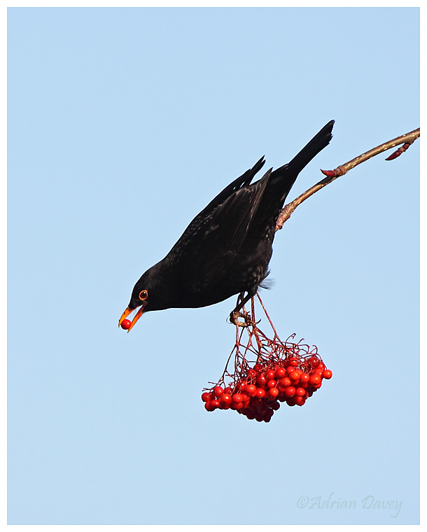 Blackbird eating Rowen berries