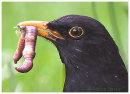 Blackbird with lunch