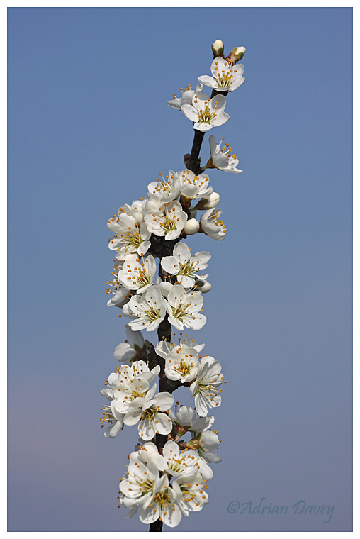 Blackthorn Blossom- Mayflower.