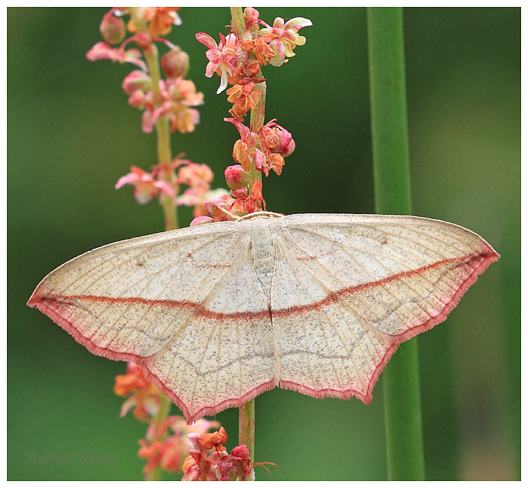 Blood Vein Moth