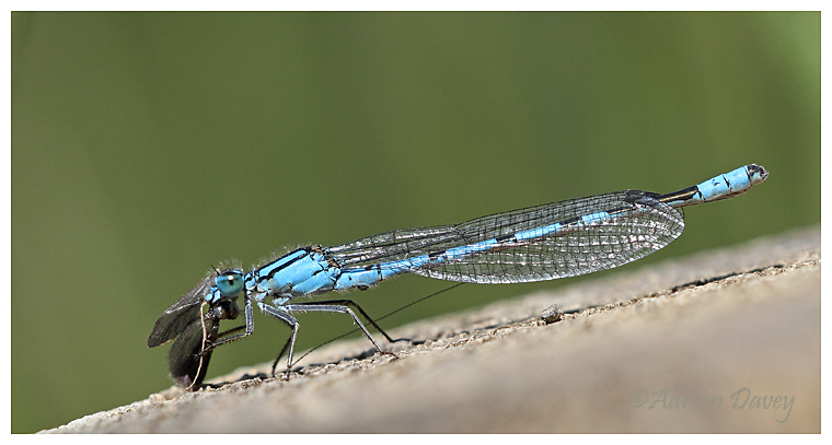 Common Blue Damsel easting a Micro Moth