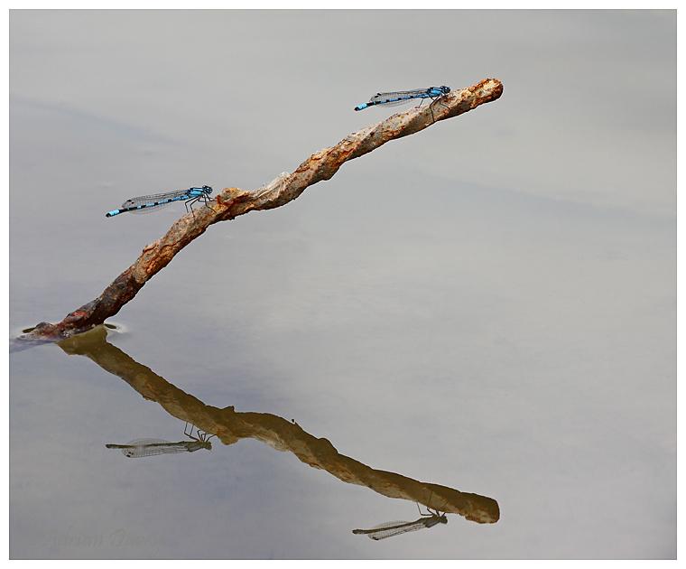 Common Blue Damselflys