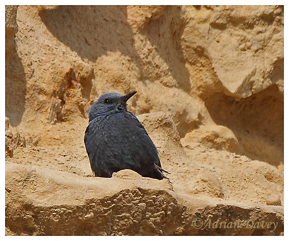 Male Blue Rock Thrush