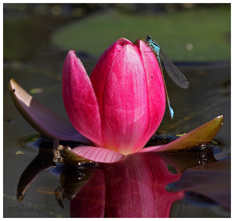 Blue Tailed Damsel on Water Lily