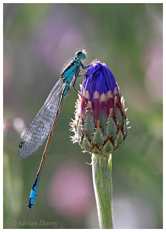 Blue Tailed Damselfly on Cornflower