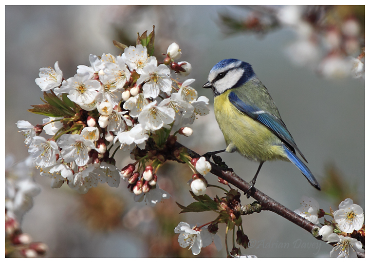Blue Tit and Blossom