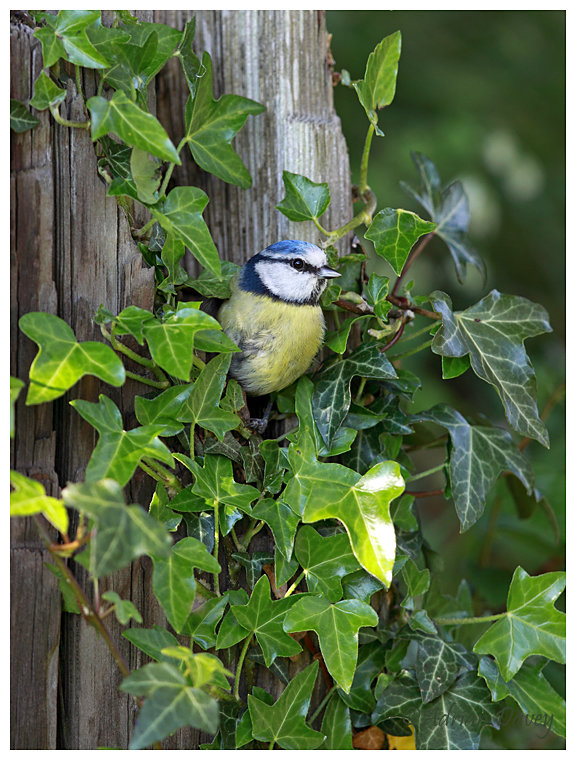 Blue Tit leaving nest hole among Ivy covered post.
