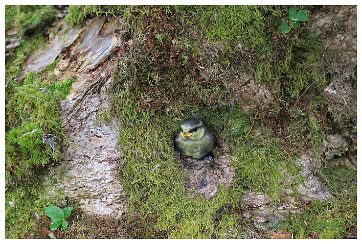 Blue Tit ,youngster leaving the nest