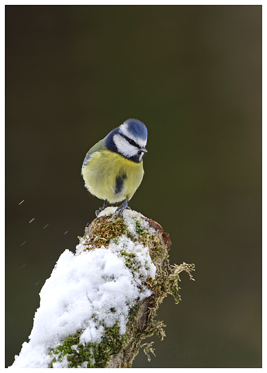 Blue Tit on snowy tree stump