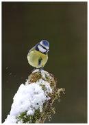 Blue Tit on snowy tree stump